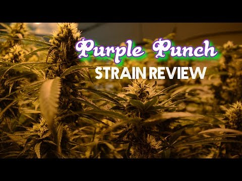 Purple Punch Strain Review (The Strainger Ep. 36)