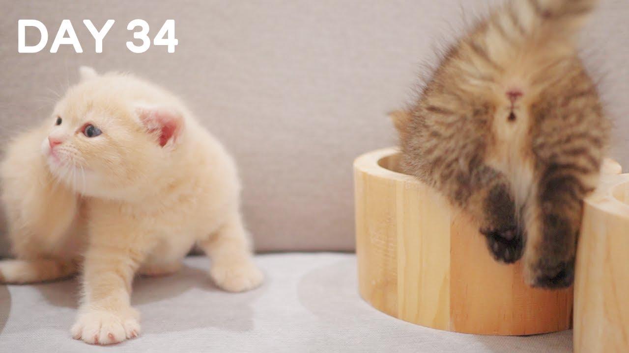 Day 34 - Playful Cute Baby Kittens | Day 1 to Day 100 Kittens Grow Up Vlog