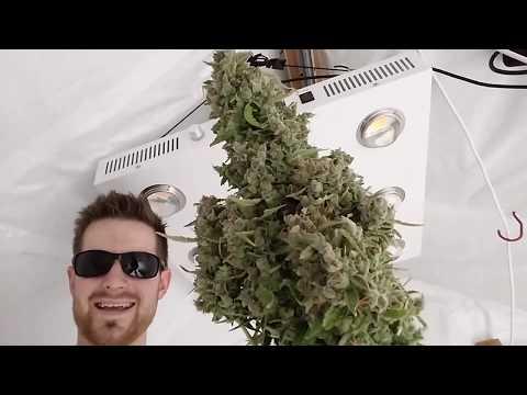 Harvesting my Highest Yielding Autoflower Ever - Auto Glueberry OG#1 -Pound Game Grow Series
