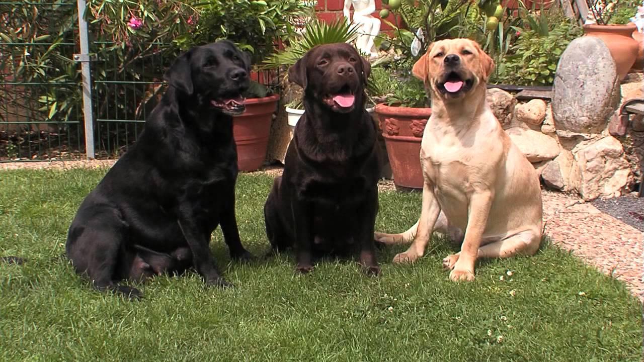 Labrador Retriever Informationen zur Rasse  YouTube