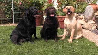 Labrador Retriever: Informationen Zur Rasse