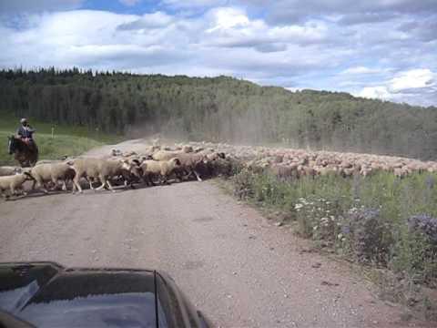 Sheep Traffic Jam - outside Dotsero, CO