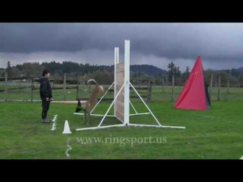 "French Ring Sport. Ring 2 jumps. Belgian Malinois ""Taser"""