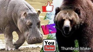 Бегемот против Бурого медведя. Hippopotamus against Brown bear.