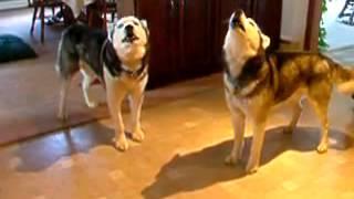 Приколы, ржака,Поющие собаки,Funny animals
