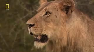 Очень классный фильм О Львах! Львы   Жизнь Прайда  Документальный фильм