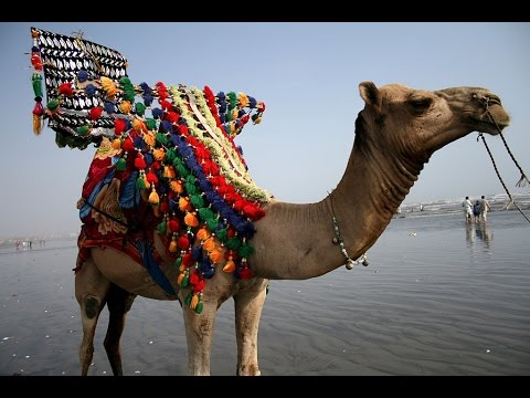 Camel Ride on Clifton - Sea view Beach Karachi City , Pakistan (Camel  Riding)