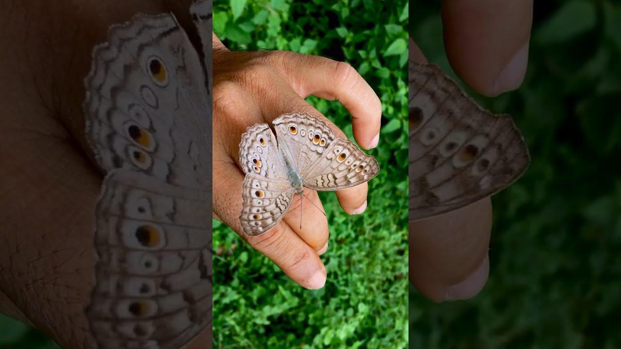Butterfly 🦋 প্রজাপতি