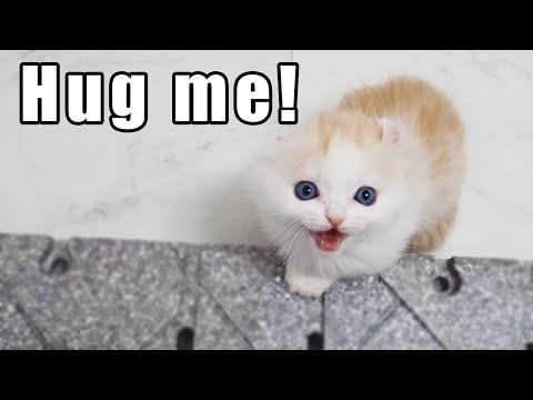 the Munchikin kitten meowing to hug me