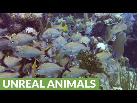 Bizarre Reef Fish Disguises Himself Among Regular Fish