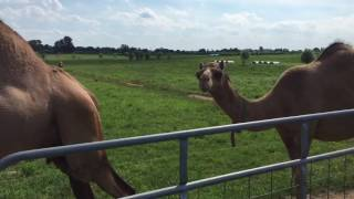 Amish farmers camels in Lancaster,PA