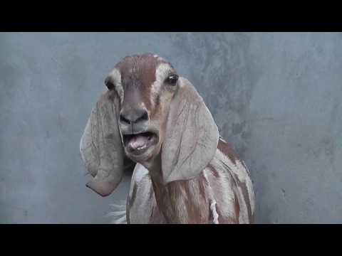 Goat Sound