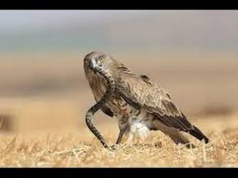 eagle attack king cobra animal attack 2015 wildlife