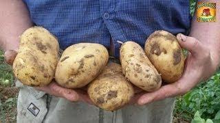 Как получить ранний урожай картофеля в середине июня. Супер простой способ вырастить картофель