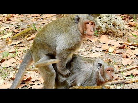 How to breed monkey in zoon