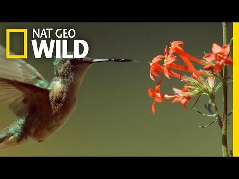 Epic Hummingbird Battle | Wild Yellowstone