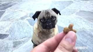 Mean Mug Pug - Slow Motion Treat