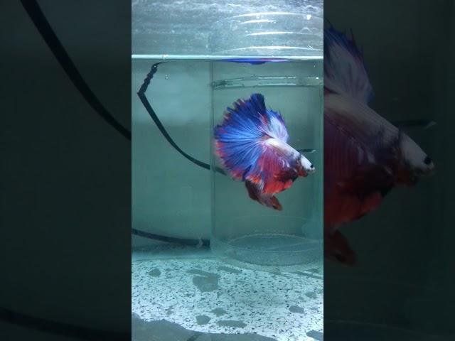 Halfmoon Fancy Dragon Betta Fish male and halfmoon koi betta female dating.  l