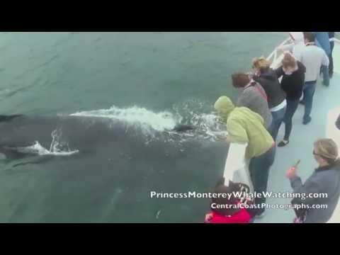 Amazing! Friendly Humpbacks Whales Monterey Bay, California 4/11/14