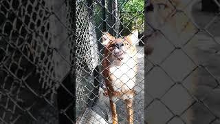 Нападение красного волка в Новосибирском зоопарке
