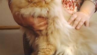 Домашний питомец Выпуск 35 Персидские кошки Модный приГАВор