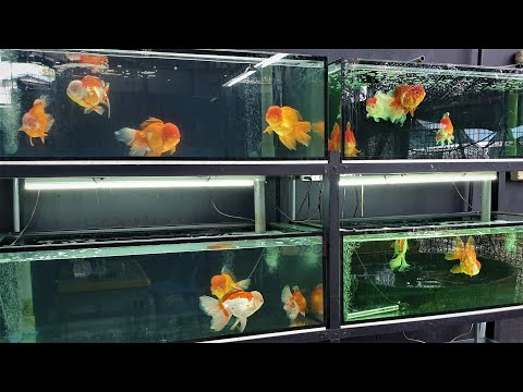 LIOW VIDEO: Visit Fish Farm (2/3) Goldfish Palace 金鱼宝殿之游