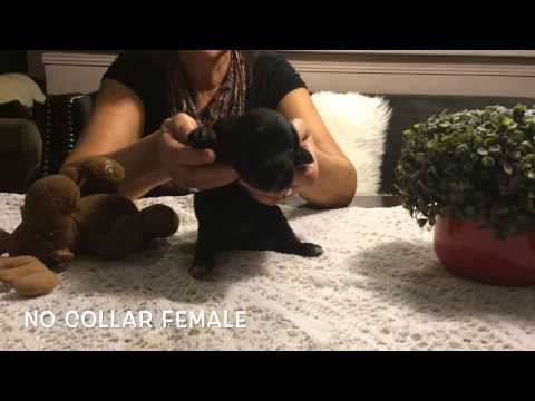 Portuguese Water Dogs FOR SALE | 2wks Old !!