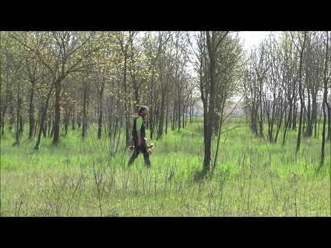 Elfin hunting training welsh springer spaniel