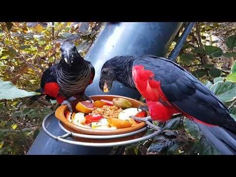 Pesquet's parrots feeding