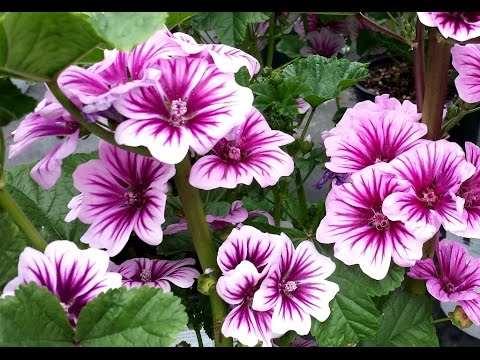 best perennials for sun  malva zebrina french mallow, Natural flower