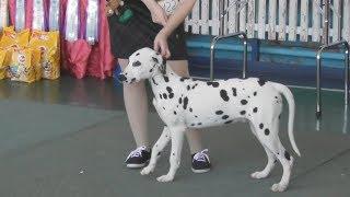 Далматин видео с выставки собак