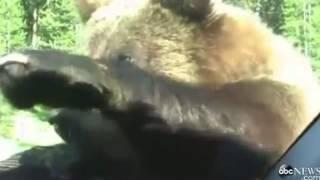 Медведь лезет в машину