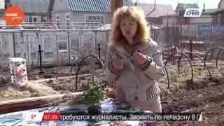 видео Зимолюбка зонтичная