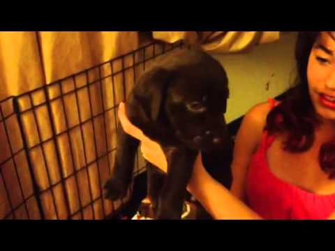 Chocolate Lab Puppies - Puppies By Name!