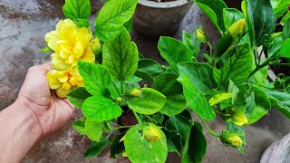 How to get maximum flowers on hibiscus, Solution to bud Drop problem in hibiscus