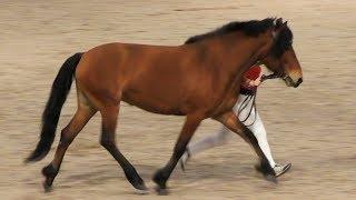 МЕЗЕНСКАЯ: лошадь русского Севера #ИППОсфера 2019 ПАРАД ПОРОД /#Мезенка /Мезенская порода лошадей