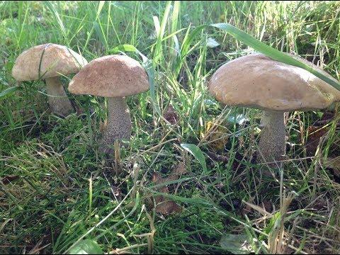 Как вырастить много грибов на вашем дачном  участке. Сентябрь 2017. How to grow lots of mushrooms