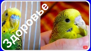 Болезни попугая. Клещ или сухость у волнистого попугая. Профилактика и лечение #птицы