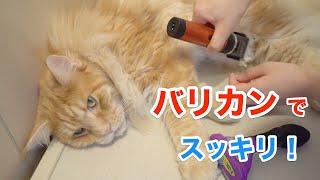 長毛猫のブラッシングとバリカンはこんな感じ♪【大きい猫 メインクーン】