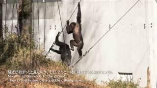 Chimps at Tama Zoological Park, filmed in December, 2017.