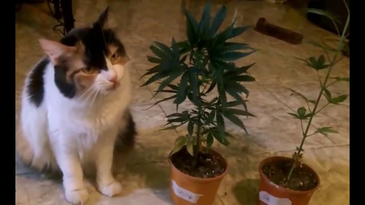 Картинки котов с коноплей конопля ухаживание