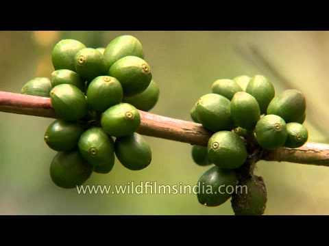 Unripe coffee pods in South India