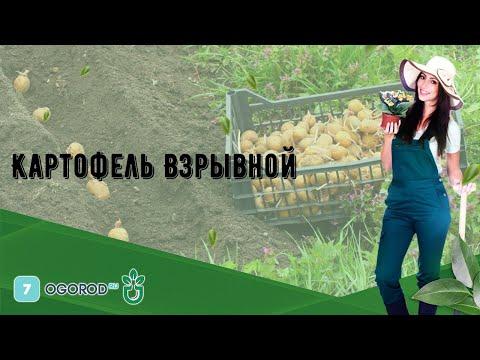 Картофель Взрывной
