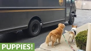 UPS driver stops to give treats to dogs