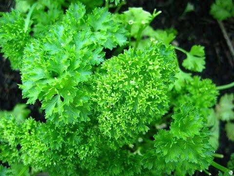 Петрушка - польза и вред. Рекомендации врача про зелень петрушки