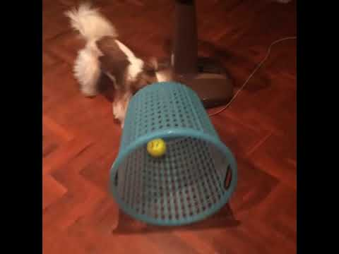 Cute puppy chases ball