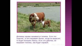 Домашнее животное Корова