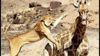 Animals attack - Lions attack giraffe - Lioness eating baby giraffe