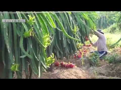 Awesome Innovation Farming & Harvesting Dragon Fruits In Vietnam
