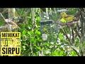 Memikat Burung Sirpu Banyak Yang Datang  Mp3 - Mp4 Download
